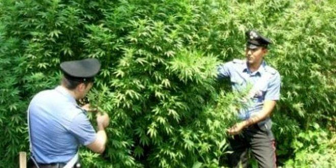 Marijuana, sequestrate in Ciociaria piante alte oltre 2 metri